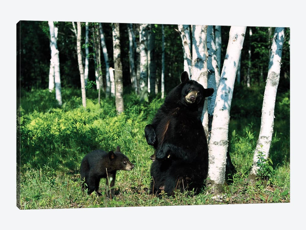 Black Bear Sow Scratching On Birch Tree With Cub Watching, North America by Konrad Wothe 1-piece Canvas Artwork