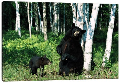 Black Bear Sow Scratching On Birch Tree With Cub Watching, North America Canvas Art Print