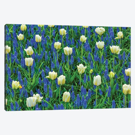 White Tulips and Blue Grape Hyacinths Fields, Lisse, Holland, Netherlands. Canvas Print #WPE15} by William Perry Canvas Print