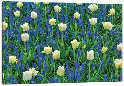 White Tulips and Blue Grape Hyacinths Fields, Lisse, Holland, Netherlands. Canvas Art Print