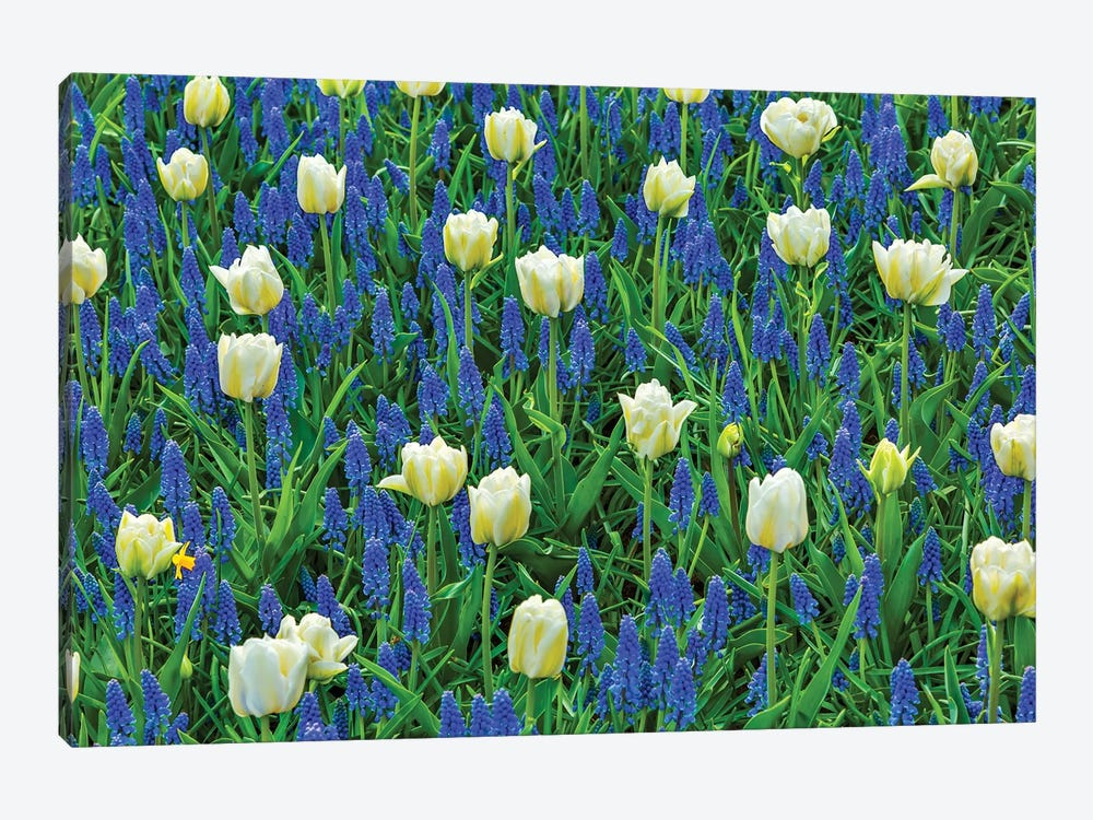 White Tulips and Blue Grape Hyacinths Fields, Lisse, Holland, Netherlands. by William Perry 1-piece Canvas Artwork