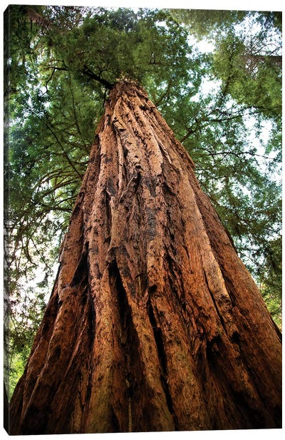 Low-Angle View Of An Old Growth Coast Redwood, Muir Woods National Monument, Golden Gate National Recreation Area, California Canvas Art Print