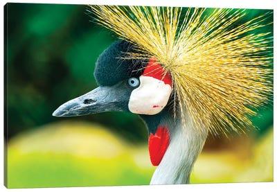 Southern crowned crane (Balearica regulorum). Canvas Art Print