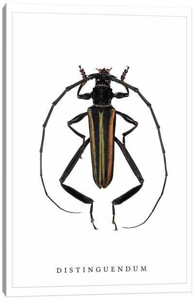 Distinguendum Beetle Canvas Art Print