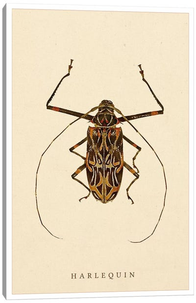 Harlequin Beetle Canvas Art Print