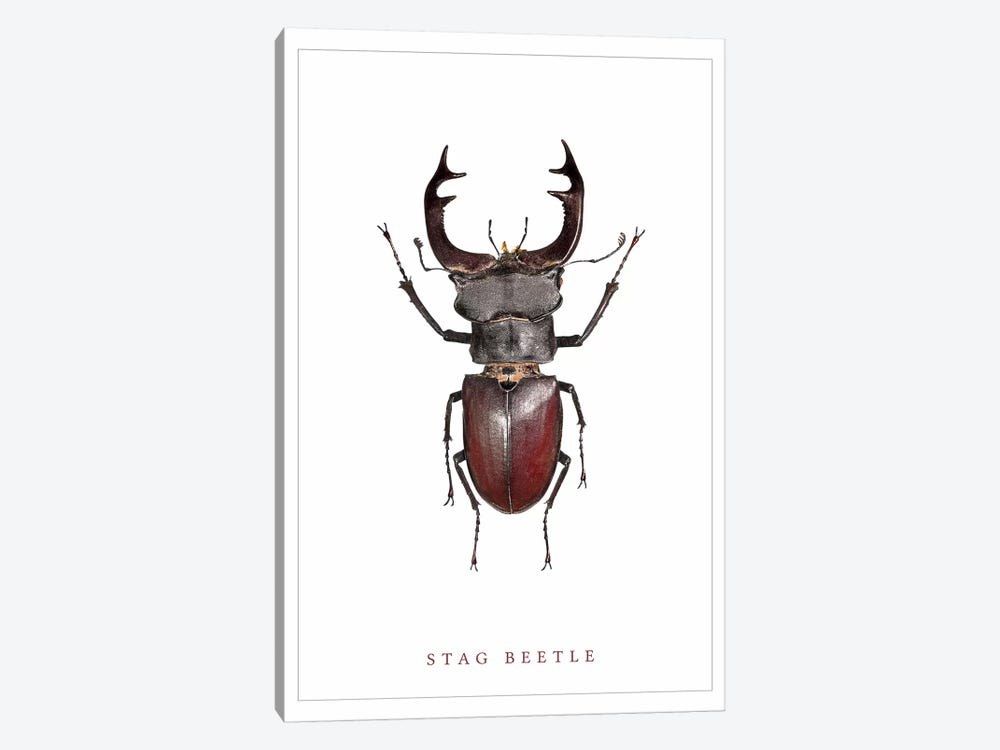 Stag Beetle by Wouter Rikken 1-piece Canvas Wall Art