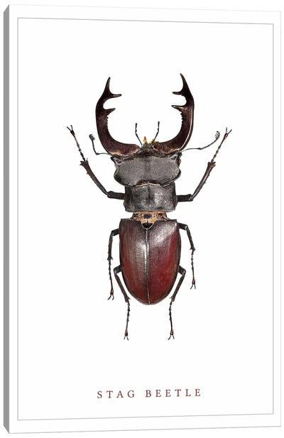 Stag Beetle Canvas Art Print