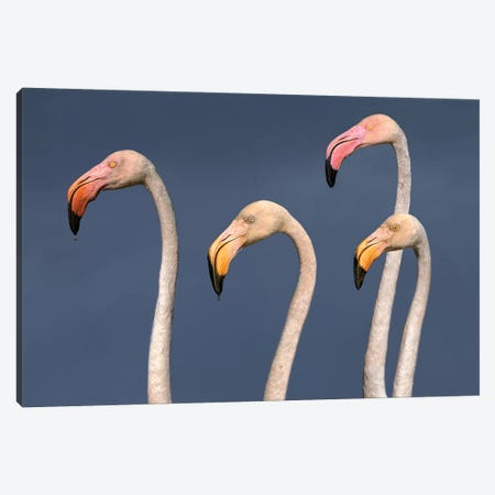 Flamingos Close Up Canvas Print #XOR17} by Xavier Ortega Canvas Wall Art