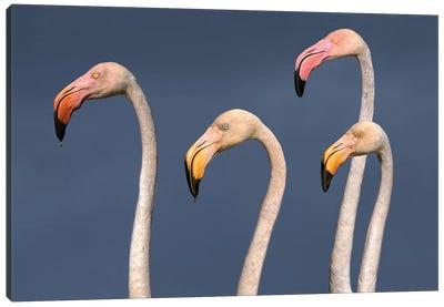 Flamingos Close Up Canvas Art Print