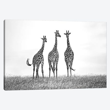 Giraffes In The Mara Plains Canvas Print #XOR18} by Xavier Ortega Canvas Print