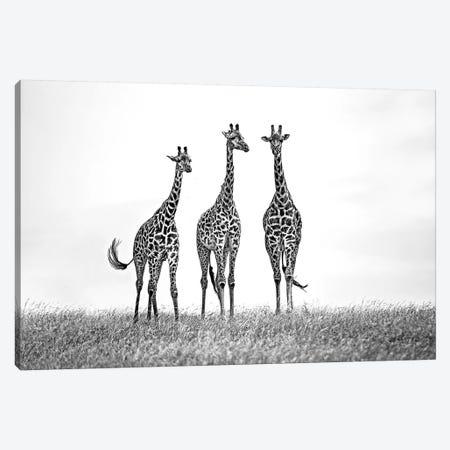 Giraffes In The Mara Plains Canvas Print #XOR18} by Xavier Ortega Canvas Print