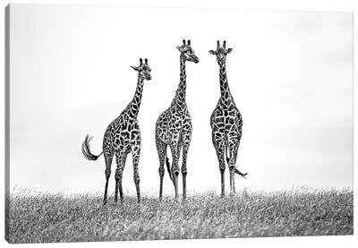 Giraffes In The Mara Plains Canvas Art Print