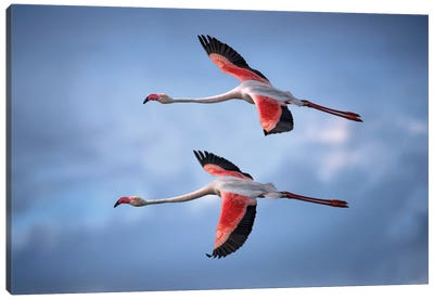 Greater Flamingos Canvas Art Print