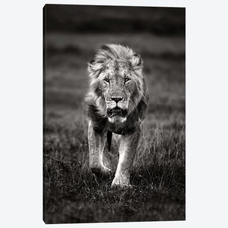 Lion Patrolling Canvas Print #XOR22} by Xavier Ortega Canvas Wall Art