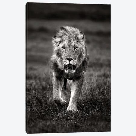 Lion Patrolling Canvas Print #XOR22} by Xavier Ortega Canvas Wall Art