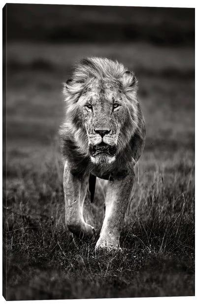 Lion Patrolling Canvas Art Print