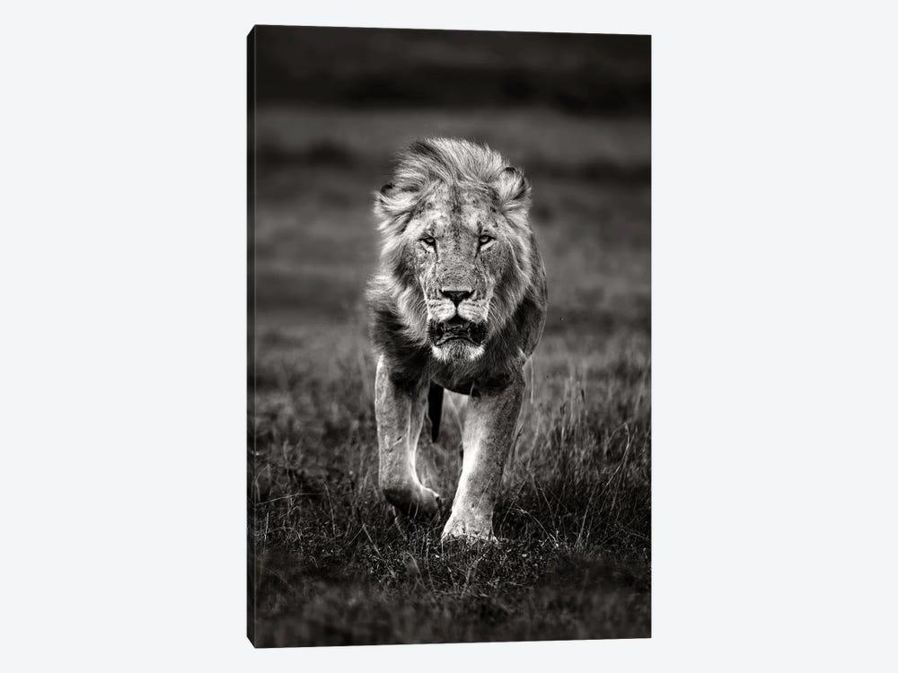 Lion Patrolling by Xavier Ortega 1-piece Canvas Artwork