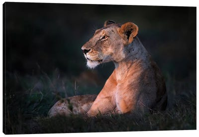 Lone Lioness Canvas Art Print