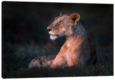 Lone Lioness Canvas Art Print