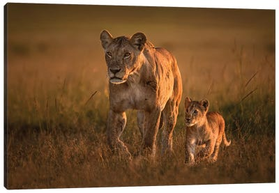 Mom Lioness With Cub Canvas Art Print