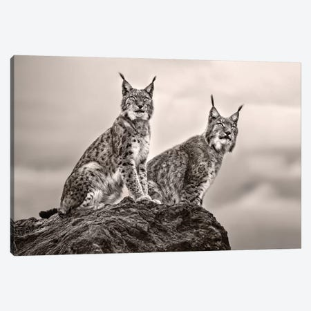 Two Lynx On Rock Canvas Print #XOR30} by Xavier Ortega Art Print