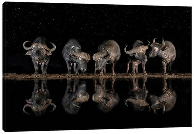 Buffaloes In The Waterhole At Night Canvas Art Print