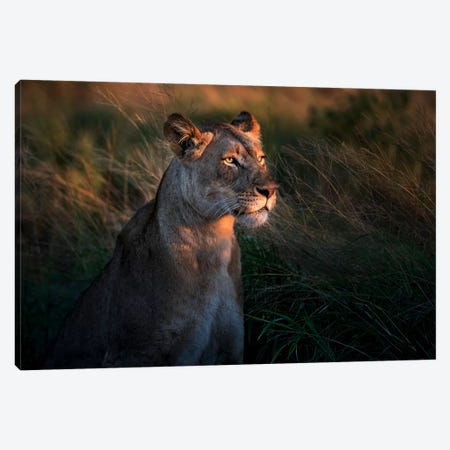 Lioness At First Day Light Canvas Print #XOR9} by Xavier Ortega Canvas Art Print