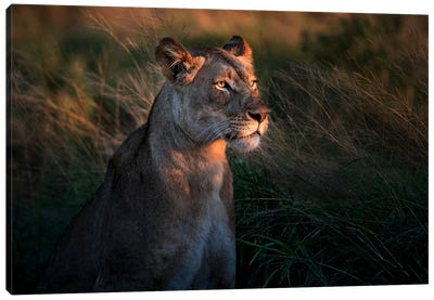 Lioness At First Day Light Canvas Art Print