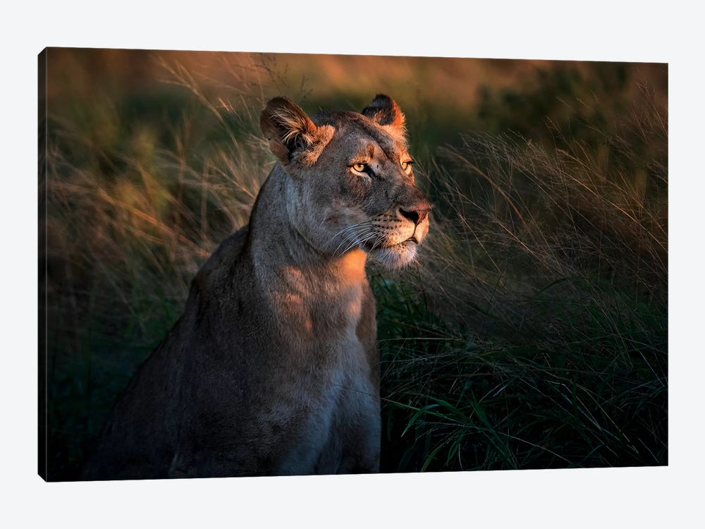 Lioness At First Day Light by Xavier Ortega 1-piece Canvas Print