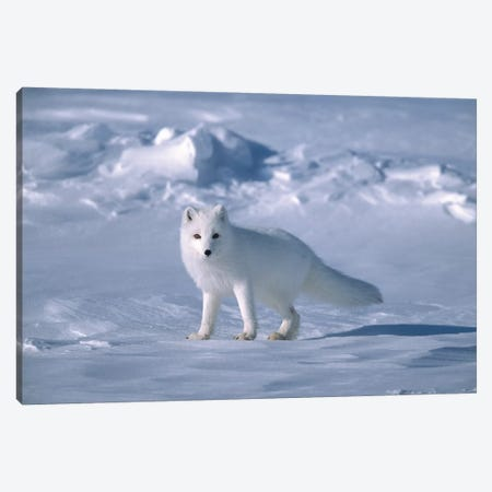 Arctic Fox In Spring, North Slope, Alaska Canvas Print #YAJ1} by Yva Momatiuk & John Eastcott Canvas Art Print