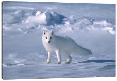 Arctic Fox In Spring, North Slope, Alaska Canvas Art Print