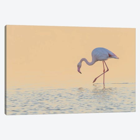 European Flamingo Wading At Sunset, Walvis Bay, Namibia Canvas Print #YAJ3} by Yva Momatiuk & John Eastcott Canvas Art Print