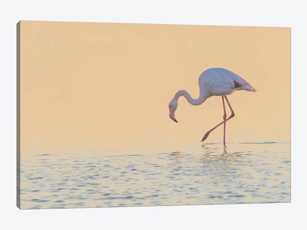 European Flamingo Wading At Sunset, Walvis Bay, Namibia by Yva Momatiuk & John Eastcott 1-piece Canvas Artwork