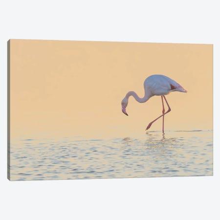 European Flamingo Wading At Sunset, Walvis Bay, Namibia Canvas Print #YAJ3} by Yva Momatiuk & John Eastcott Canvas Art Print