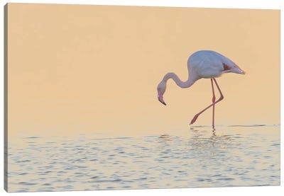European Flamingo Wading At Sunset, Walvis Bay, Namibia Canvas Art Print