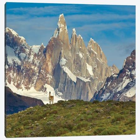 Guanaco, Cerro Torre, Los Glaciares National Park, Patagonia, Argentina Canvas Print #YAJ4} by Yva Momatiuk & John Eastcott Canvas Artwork
