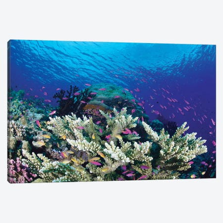 Yellowstripe Anthias School Swimming Around Hard Coral, Milne Bay, Papua New Guinea Canvas Print #YAS1} by Yasuaki Kagii Canvas Art Print