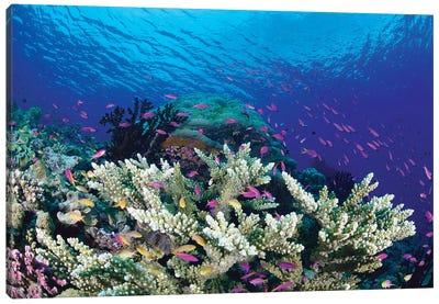 Yellowstripe Anthias School Swimming Around Hard Coral, Milne Bay, Papua New Guinea Canvas Art Print