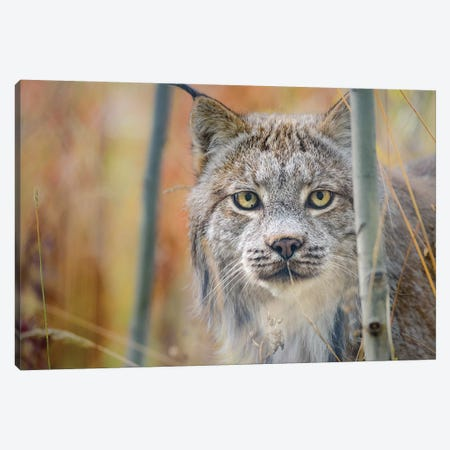 Canada, Yukon, Whitehorse, Captive Canada Lynx Portrait. 3-Piece Canvas #YCH104} by Yuri Choufour Art Print