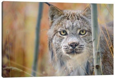 Canada, Yukon, Whitehorse, Captive Canada Lynx Portrait. Canvas Art Print