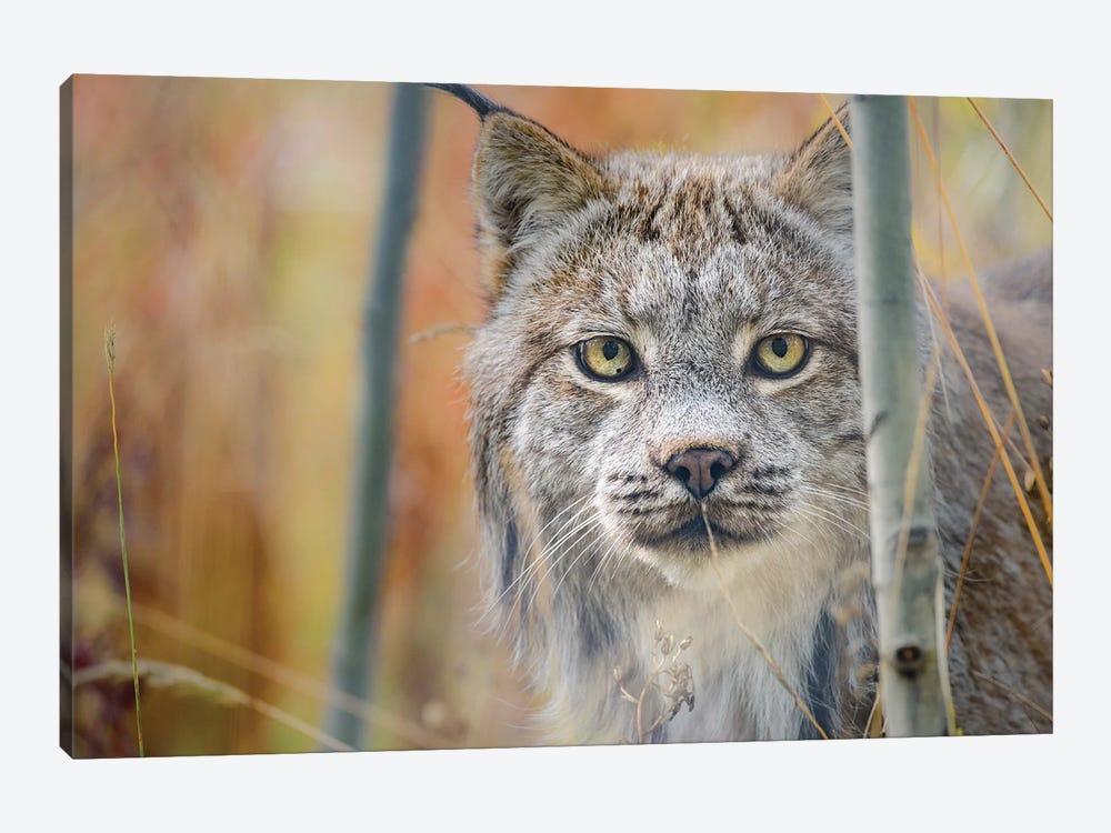 Canada, Yukon, Whitehorse, Captive Canada Lynx Portrait. by Yuri Choufour 1-piece Canvas Art