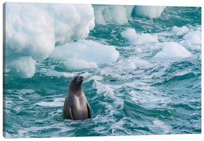 Antarctic Peninsula, Antarctica. Crabeater Seal Surfacing. Canvas Art Print