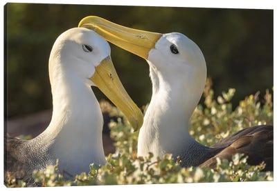 Ecuador, Galapagos Islands, Espanola Island. Waved Albatrosses Courting. Canvas Art Print