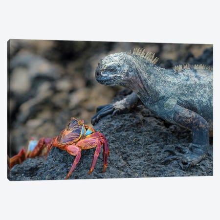 Ecuador, Galapagos Islands, Fernandina Island. Marine Iguana And Sally Lightfoot Crab Have A Stare Down. Canvas Print #YCH112} by Yuri Choufour Art Print