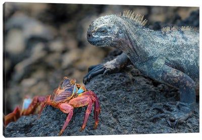 Ecuador, Galapagos Islands, Fernandina Island. Marine Iguana And Sally Lightfoot Crab Have A Stare Down. Canvas Art Print