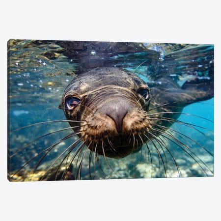 Ecuador, Galapagos Islands, Santa Fe Island. Galapagos Sea Lion Swims In Close To The Camera. Canvas Print #YCH121} by Yuri Choufour Canvas Artwork