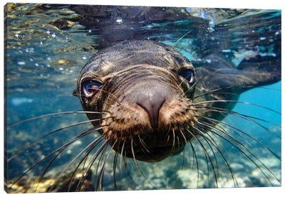 Ecuador, Galapagos Islands, Santa Fe Island. Galapagos Sea Lion Swims In Close To The Camera. Canvas Art Print