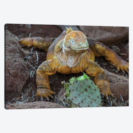Ecuador, Galapagos Islands, Santa Fe Island. Santa Fe Land Iguana Feeds On Favorite Food Of Opuntia Cactus. Canvas Print #YCH123} by Yuri Choufour Canvas Wall Art