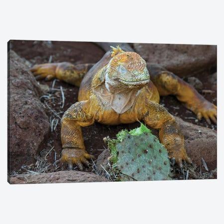 Ecuador, Galapagos Islands, Santa Fe Island. Santa Fe Land Iguana Feeds On Favorite Food Of Opuntia Cactus. Canvas Print #YCH123} by Yuri Choufour Canvas Wall Art