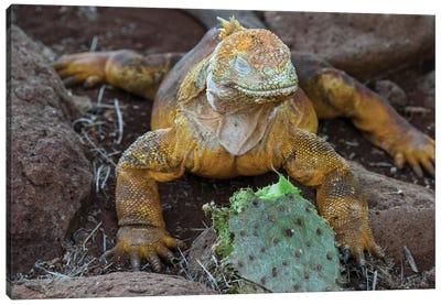 Ecuador, Galapagos Islands, Santa Fe Island. Santa Fe Land Iguana Feeds On Favorite Food Of Opuntia Cactus. Canvas Art Print